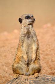 pic of meerkats  - A meerkat sentry sitting on a rock  - JPG
