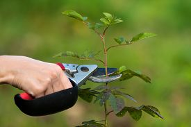 image of prunes  - hands of women pruning rose with secateurs closeup - JPG
