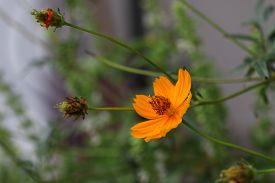 picture of cosmos flowers  - Orange cosmos flowers - JPG