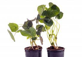 picture of nasturtium  - edible Tropaeolum majus leaves nasturtium leaf used for garnish on food isolated on white - JPG