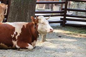 stock photo of annoying  - Lying and esting cow annoys insects  - JPG