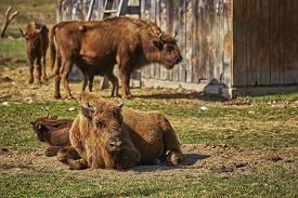 stock photo of female buffalo  - Tranquil European bison  - JPG