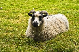 picture of iceland farm  - Icelandic tup is resting on a green meadow - JPG