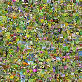 pic of siberia  - A collage of photos of medicinal plants grows in Russia - JPG