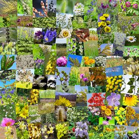 foto of siberia  - A collage of photos of medicinal plants grows in Russia - JPG
