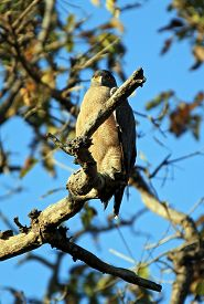 stock photo of serpent  - Crested Serpent Eagle  - JPG