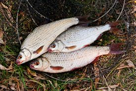 pic of fresh water fish  - Freshwater roach fish just taken from the water - JPG