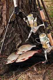 image of fresh water fish  - Roach fish freshwater fish just taken from the water - JPG