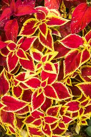pic of poinsettia  - Red and yellow leaves of variegated Poinsettias - JPG