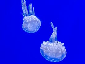 image of jellyfish  - A Beautiful jellyfish floating in aquarium water  - JPG