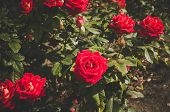 Shrub Rose. Shrub Roses. poster