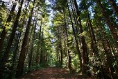 stock photo of sequoia-trees  - Trail in sequoia giant forest - JPG