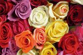 stock photo of yellow rose  - Multi Color roses vector illustration - JPG
