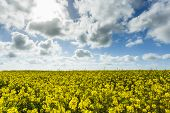 Beautiful Yellow Flowering Rapeseed Field In Normandy, France. Country Agricultural Landscape On A S poster