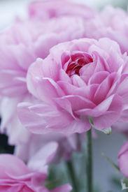 stock photo of pink rose  - closeup of english roses - JPG