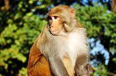 stock photo of darjeeling  - the monkey at Observatory Hill in Darjeeling India - JPG