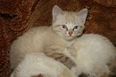 A Light Brown Striped Kitten With Brown Eyes Lies Next To The Cat On A Brown Carpet poster
