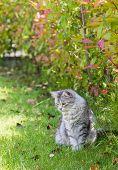 Adorable Fluffy Cat Outdoor. Siberian Pet Of Livestock, Cute Purebred Feline In Garden poster