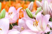 picture of asiatic lily  - Pink asiatic lily bloom in front of deep orange lily background