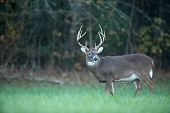 pic of cade  - Large whitetailed deer feeding in an open meadow - JPG