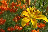 stock photo of asiatic lily  - Asiatic beautiful garden yellow lily  in natural light against the background of tiger lilies - JPG