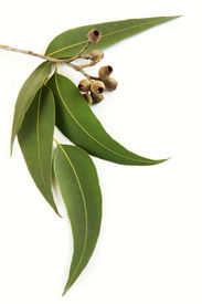 image of eucalyptus leaves  - Gum leaves and gum nuts casting natural shadow on white - JPG