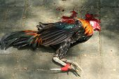 picture of cockfight  - Illegal cockfights that took place on Indonesian island of Bali 8 April 2008 - JPG