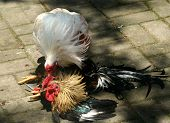 pic of cockfight  - Illegal cockfights that took place on Indonesian island of Bali 8 April 2008 - JPG
