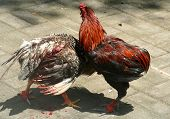 stock photo of cockfight  - Illegal cockfights that took place on Indonesian island of Bali 8 April 2008 - JPG