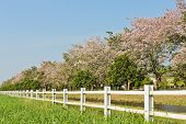 stock photo of lapacho  - White Fence With Pink Trumpet Trees In Bloom - JPG