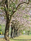 image of lapacho  - Row Of Pink Trumpet Blossom In Bloom - JPG