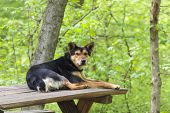 stock photo of stray dog  - Old stray abandoned dog resting on wooden table in the forest and waiting for tourists to come and feed him - JPG