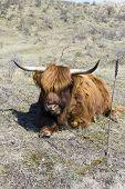foto of highland-cattle  - Cattle scottish Highlanders in Zuid Kennemerland Netherlands - JPG