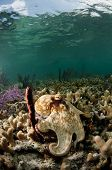 foto of octopus  - A Caribbean reef octopus in a vertical composition - JPG