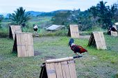 picture of fighting-rooster  - Cocks in a Cordillera mountains village Philippines - JPG