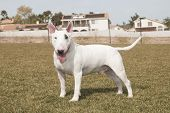 White bull terrier posing on the lawn