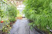 Marijuana ( Cannabis), Hemp Plant Growing Inside Of The Green House