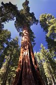 picture of sequoia-trees  - Giant Sequoia tree in the Mariposa Grove - JPG