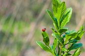 Ladybug On A Green Leaf On Natural Background