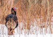 image of gobbler  - Closeup shot of a male wild turkey in the snow - JPG