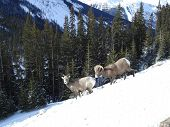 Pair of Mountain sheep