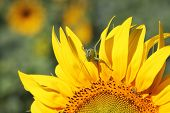 stock photo of locust  - Locust on sunflower  - JPG