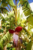 picture of banana tree  - Banana tree with a blossom and small green bananas - JPG