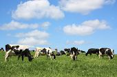 stock photo of quadruped  - A herd of black and white Holstein Friesian dairy cows grazing in a lush spring pasture against a blue sky - JPG
