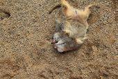 picture of meerkats  - Pair of Meerkats play fighting with each other - JPG