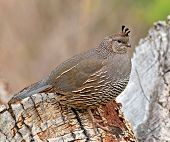 picture of quail  - With the male bird close by - JPG