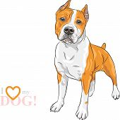 foto of american staffordshire terrier  - sketch of the dog American Staffordshire Terrier breed - JPG