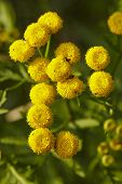 picture of tansy  - The yellow blossom of a Tansy (Tanacetum�vulgare) with many little single blooms.
