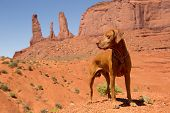 picture of pure-breed  - pure breed red dog in Monument Valley
