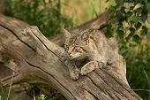 picture of wildcat  - Scottish Wildcat - JPG